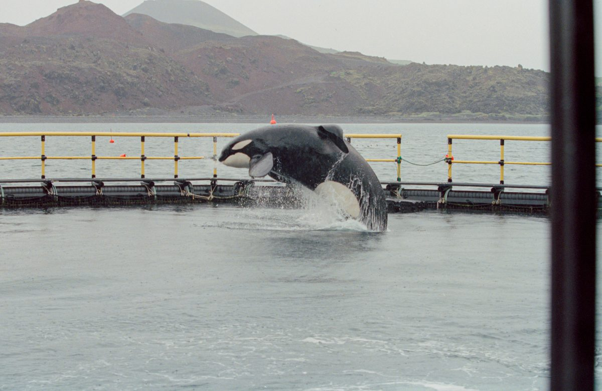 Keiko the killer whale in enclosure, Iceland