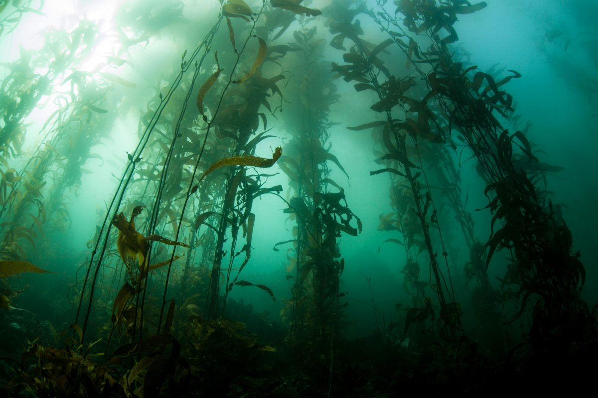 Kelp forest in Monterey Bay