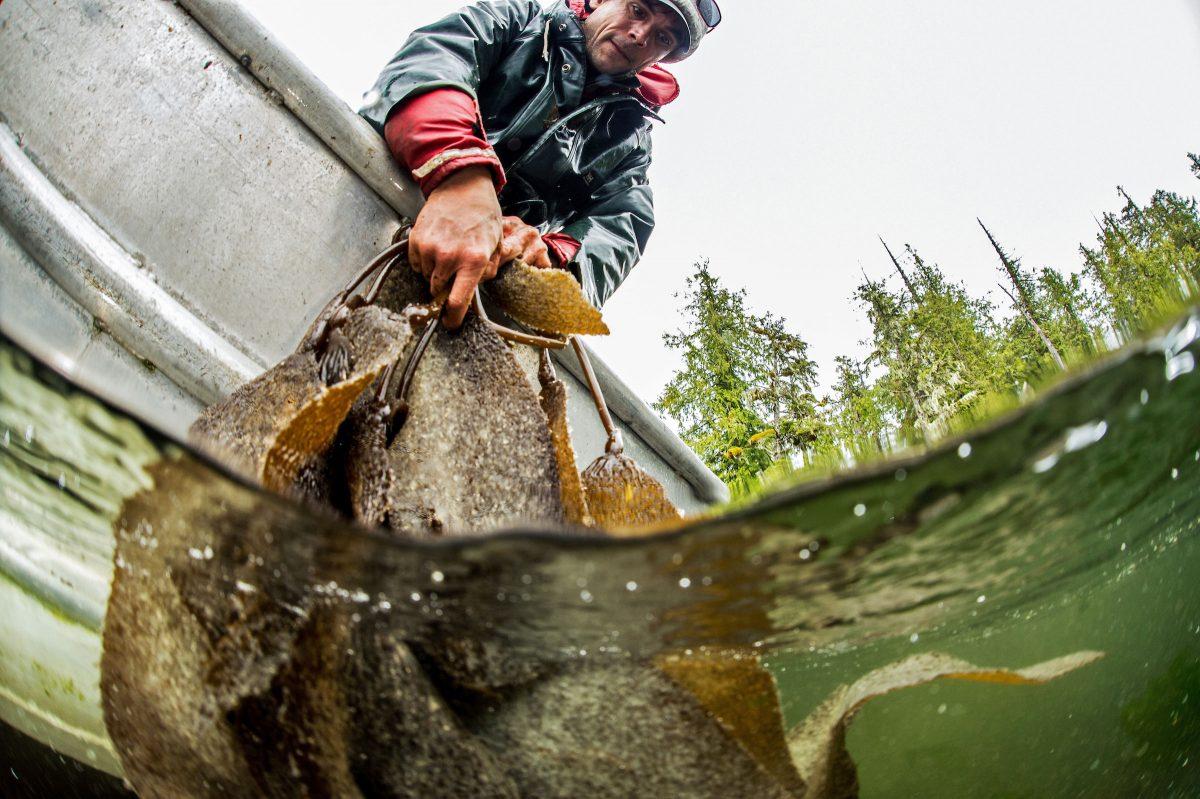 a Heiltsuk fisher harvests herring roe on kelp