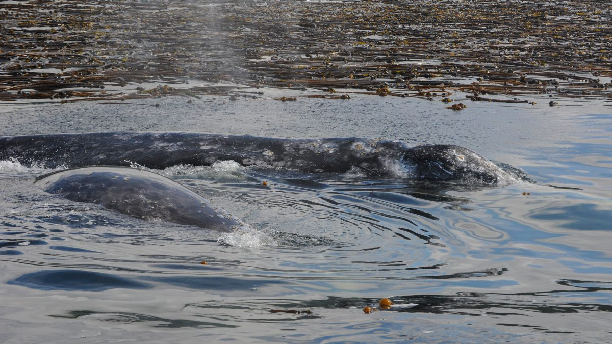 A gray whale cow and her calf feed near the kelp in Clayoquot Sound