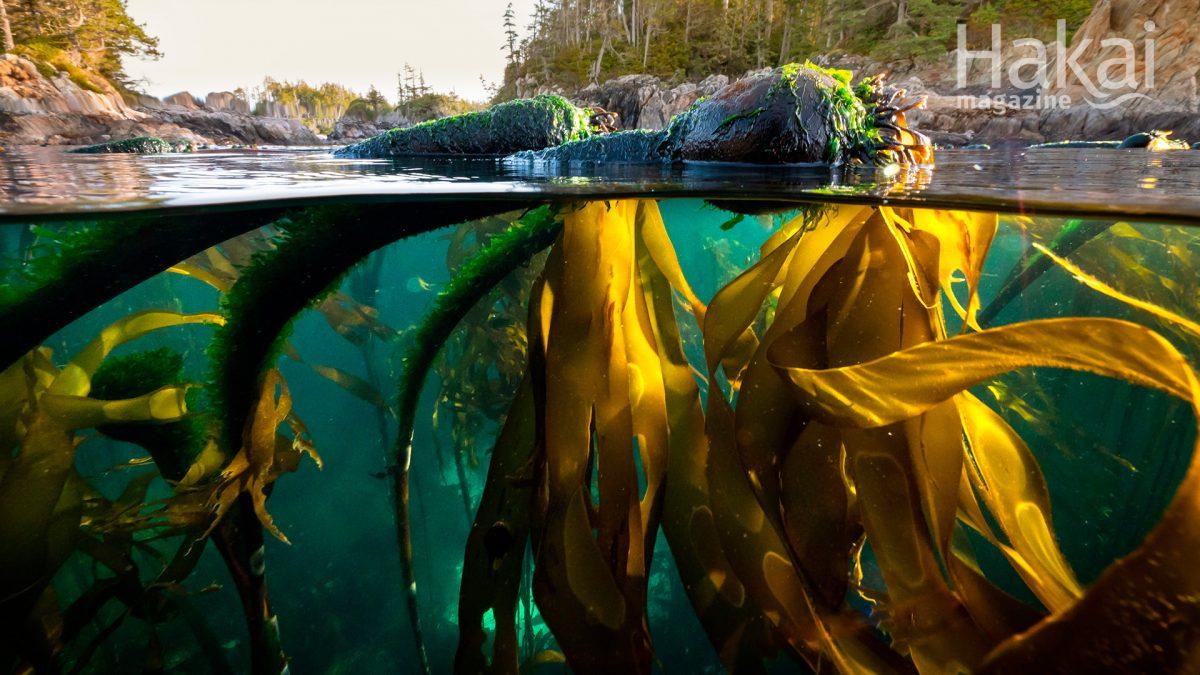 bull kelp free zoom background