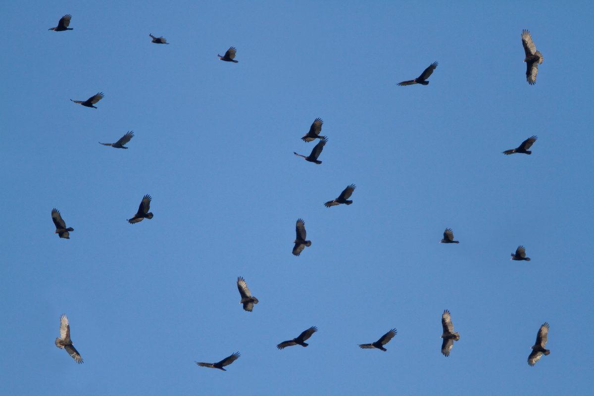kettling turkey vultures