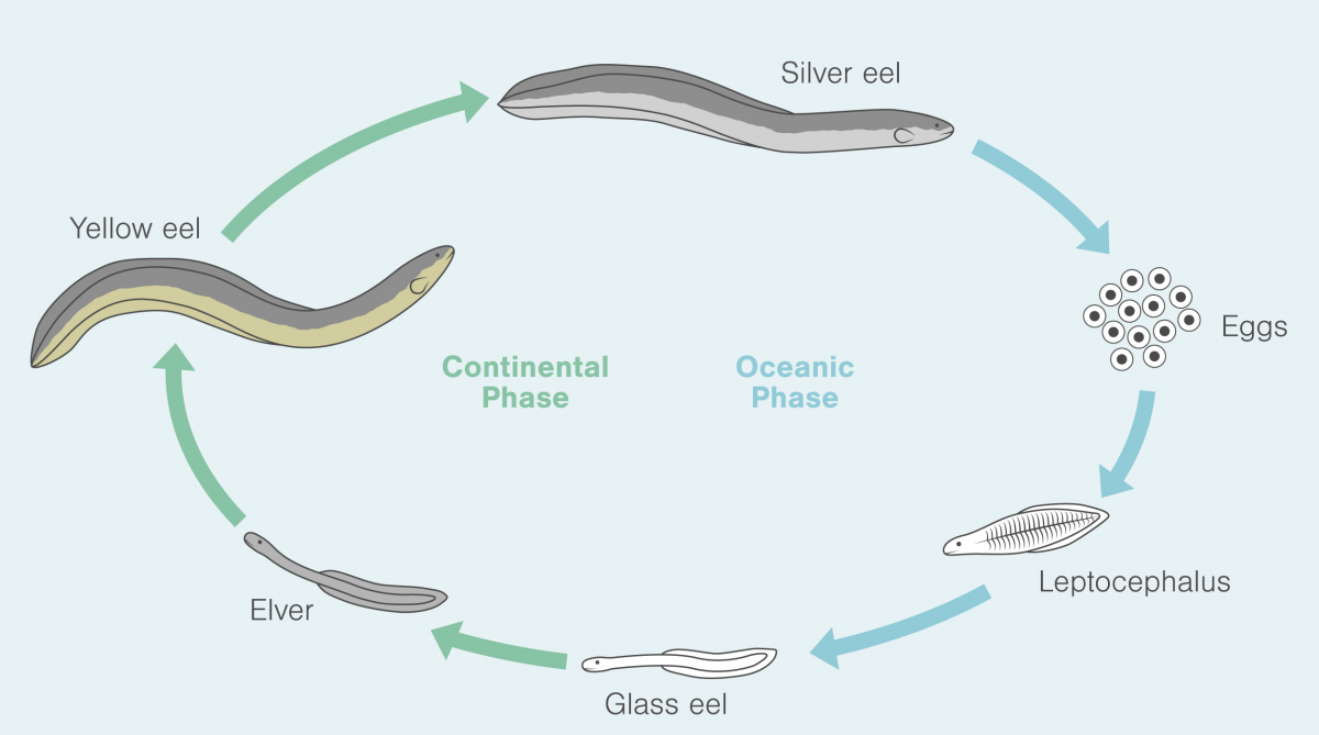 the life-cycle of the American Eel