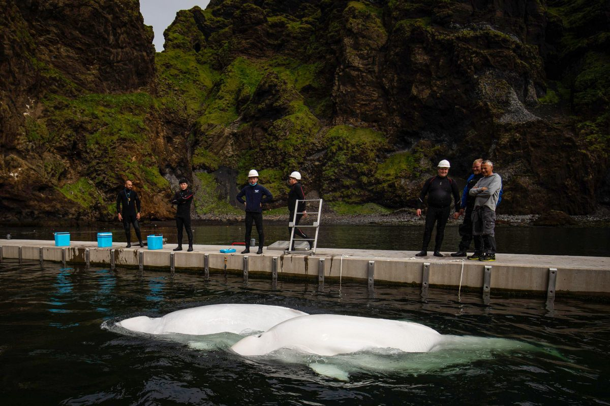 Beluga whales Little Grey and Little White