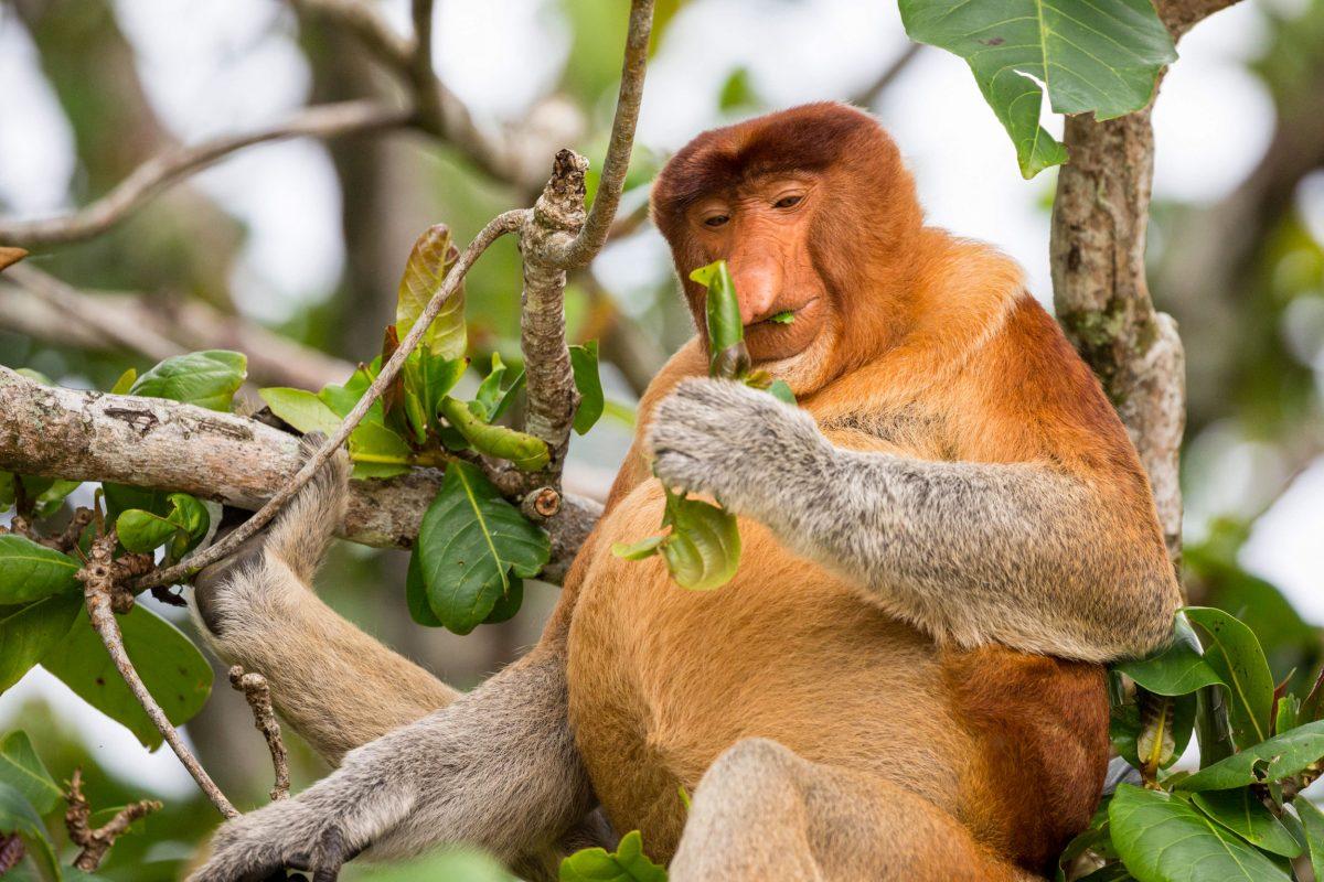 Wild male proboscis monkey (Nasalis larvatus) feeding