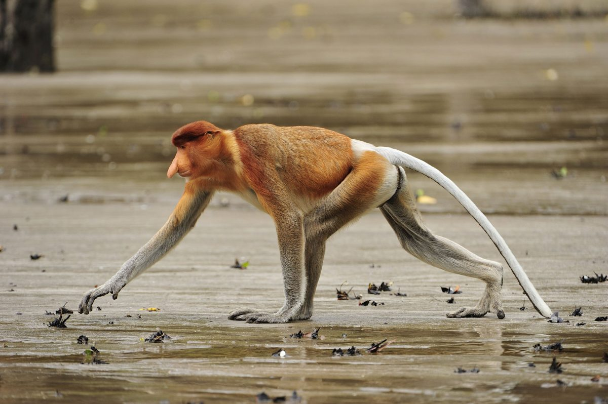 Proboscis monkey in mangrove at low tide