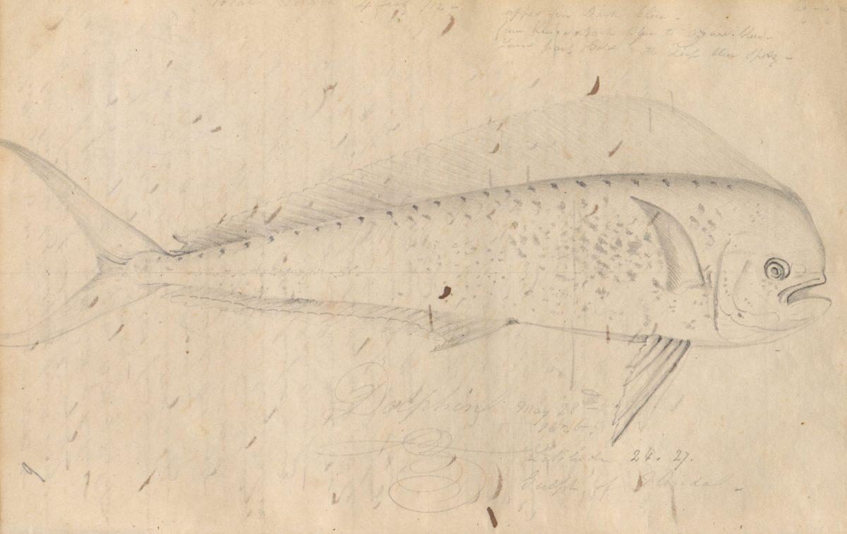 Sketch of mahimahi by John James Audubon