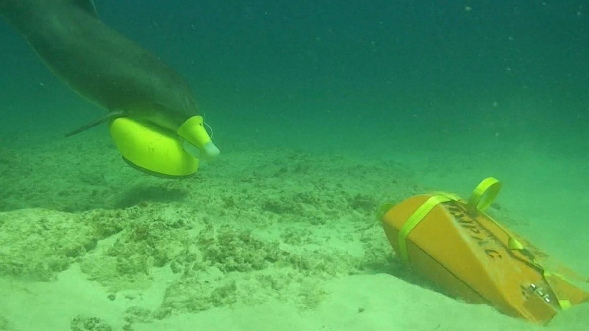 dolphin being trained to mark underwater mines