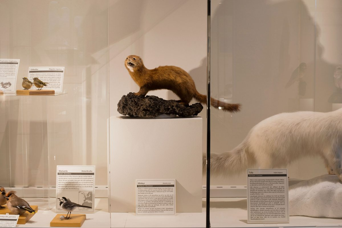 A stuffed American mink at the Natural History Museum of Kópavogur, Iceland