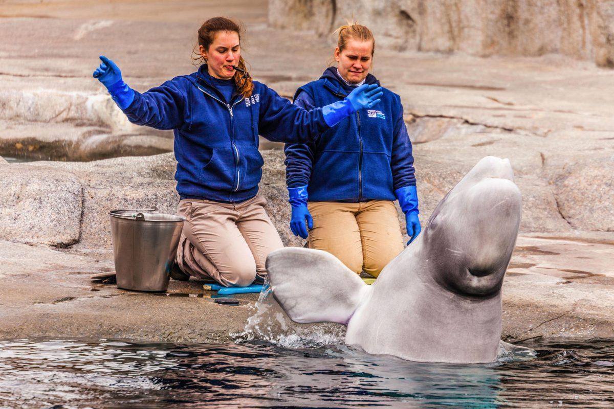 beluga and trainers at Mystic Aquarium, Connecticut