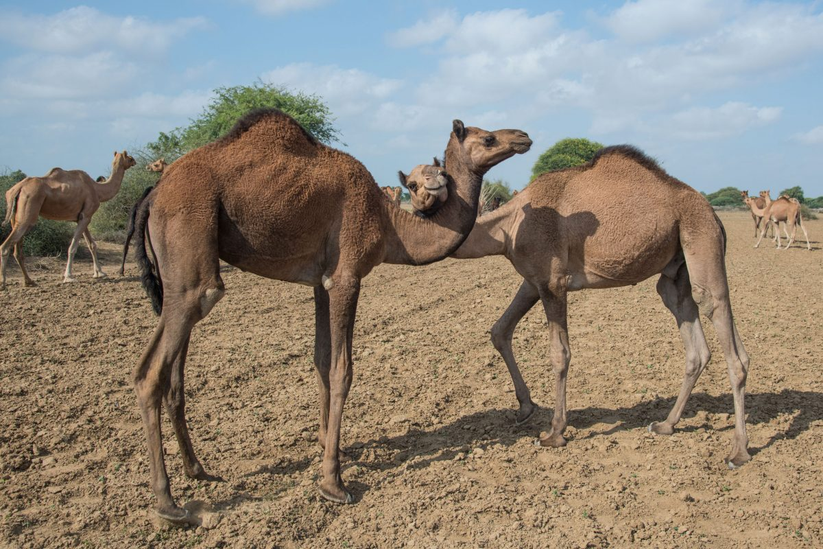 Wildlife Conservation Jobs - nuzzling camels