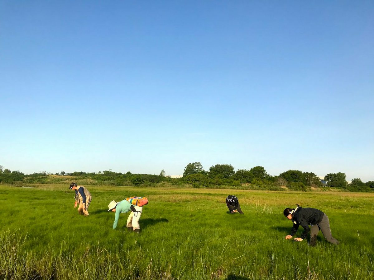 A team of researchers from State University of New York College of Environmental Science and Forestry (SUNY ESF) search for saltmarsh sparrow nests in Idlewild Park Preserve, New York City, New York