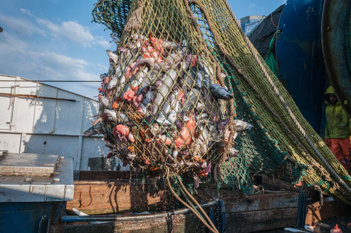 Cod end of fishing trawler net full of redfish, pollock,lobster and dogfish sharks. Georges Bank, New England