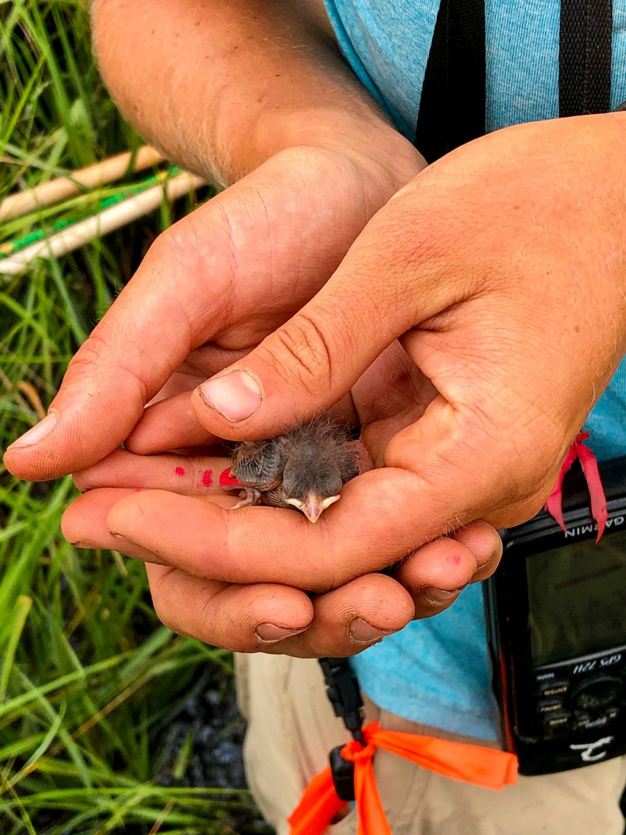 A newly hatched saltmarsh sparrow chick