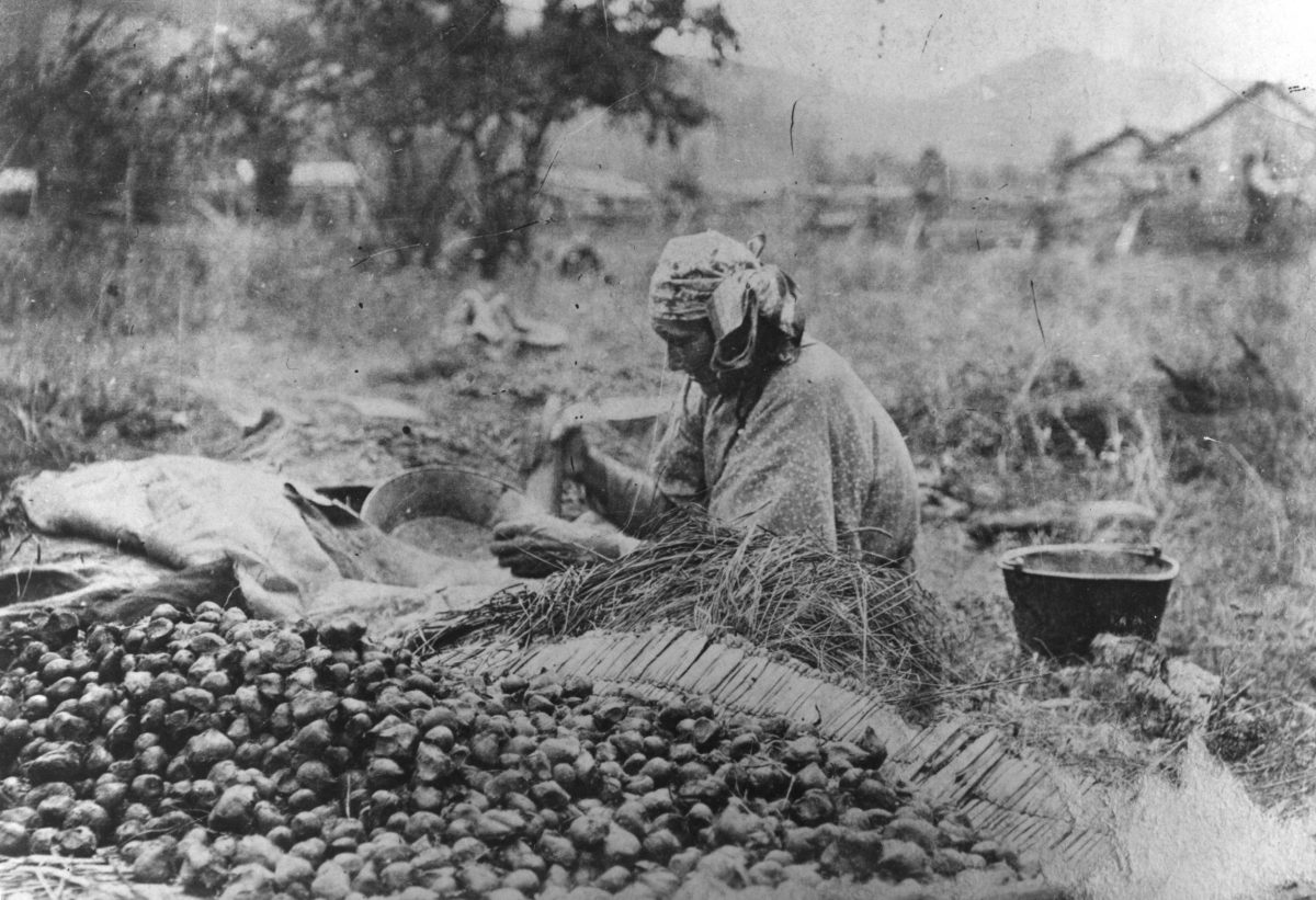 Annie Yellowbear, a Nez Perce woman, processes camas bulbs in Idaho, circa 1890. For the Nez Perce, camas is a sacred food seen as a gift from the Creator. Photo courtesy of Nez Perce National Historical Park