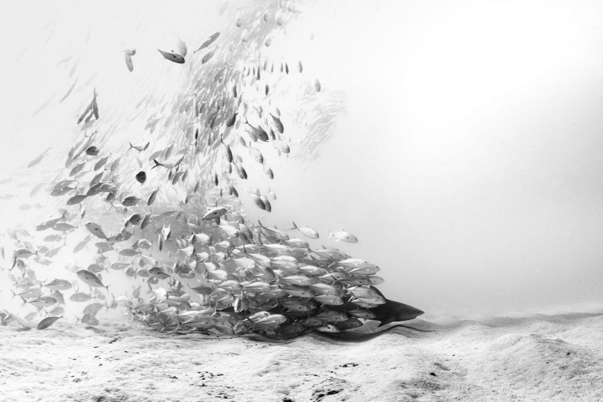 bigeye jack swarming a bull shark