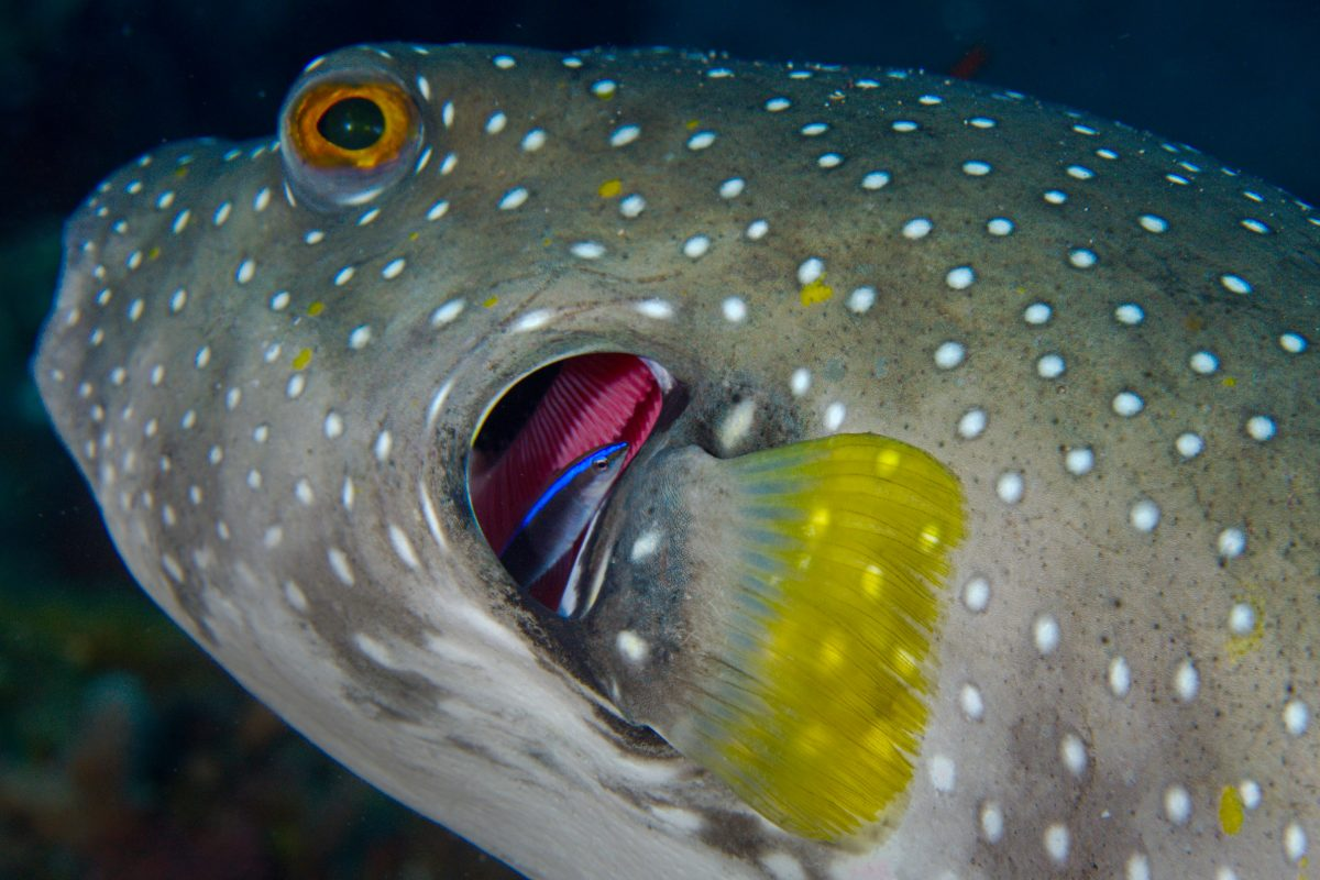 cleaner wrasse and puffer fish