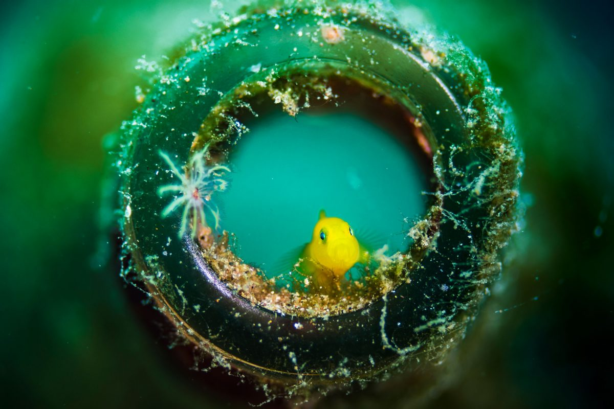 yellow pygmy goby in the mouth of a beer bottle on the ocean floor