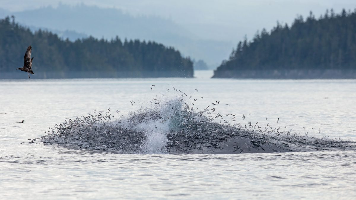 fish scattering as humpback whale feeds