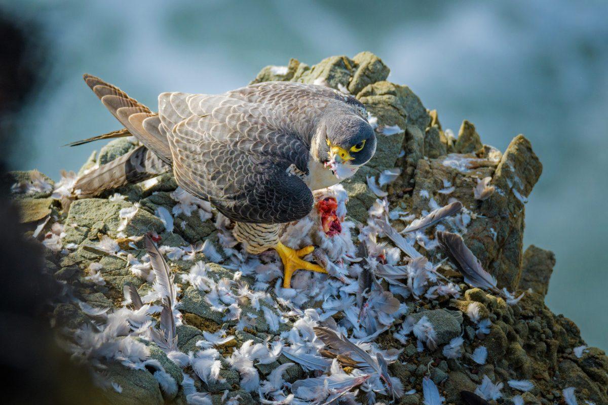peregrine falcon eating a dove