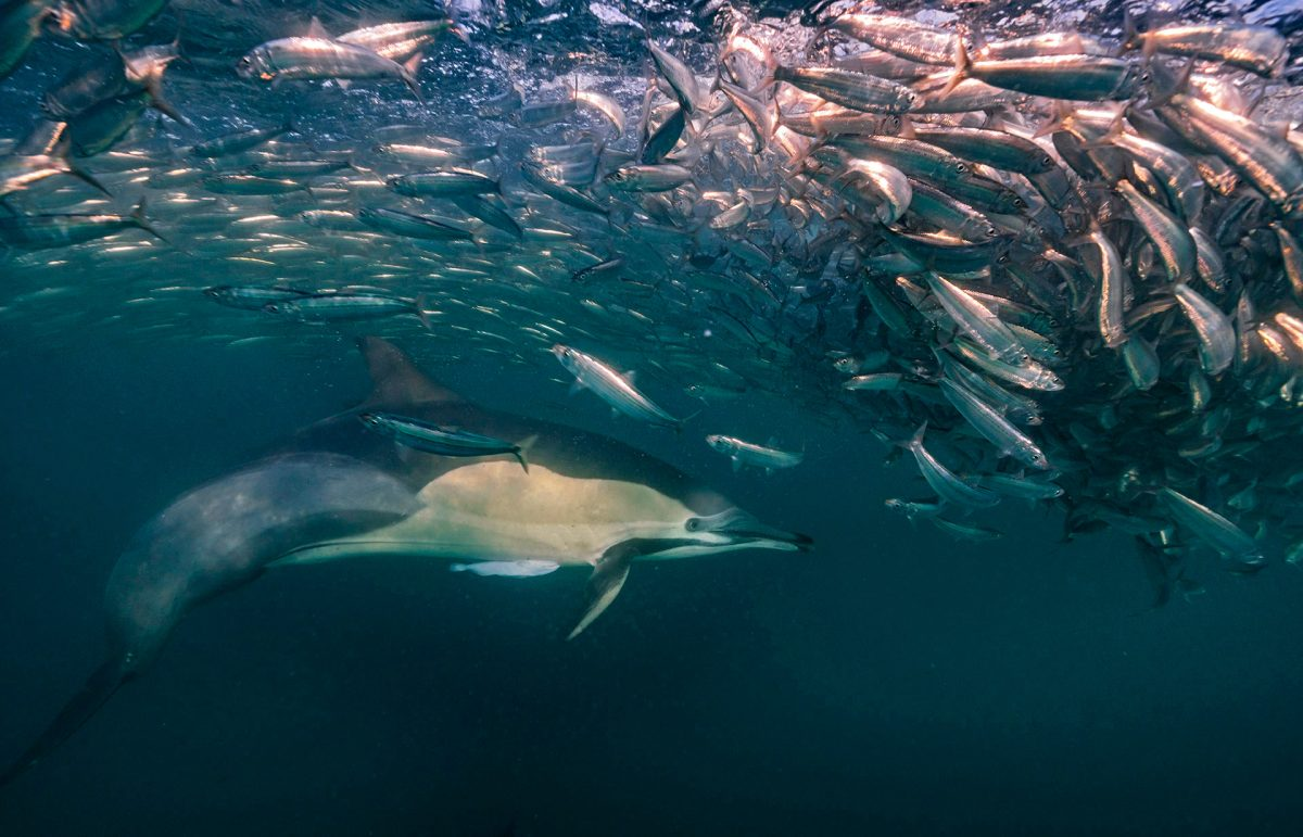 dophin and sardines under water