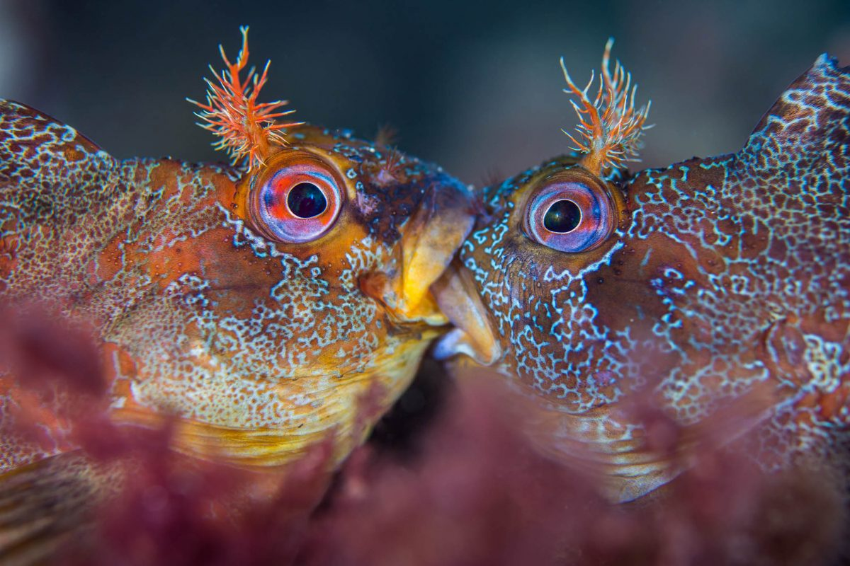fighting tompot blennies