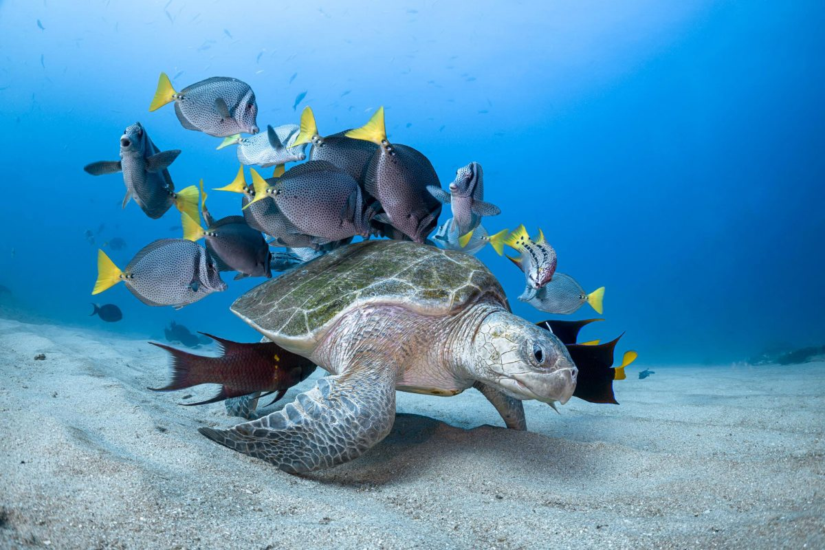 sea turtle surrounded by fish