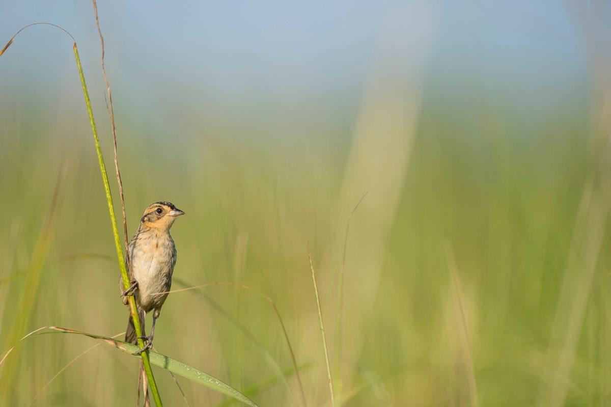 saltmarsh sparrow on grass