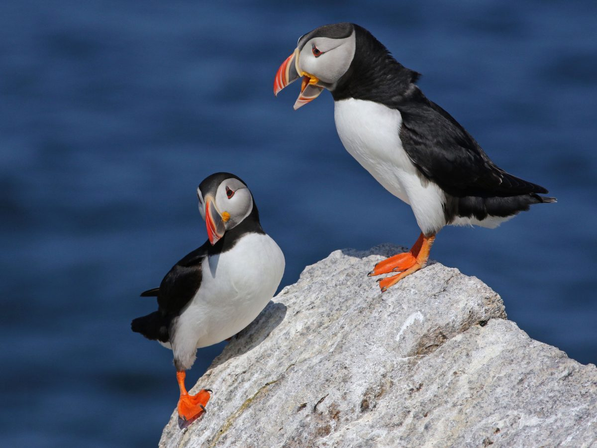 two Atlantic puffins stand on a ock