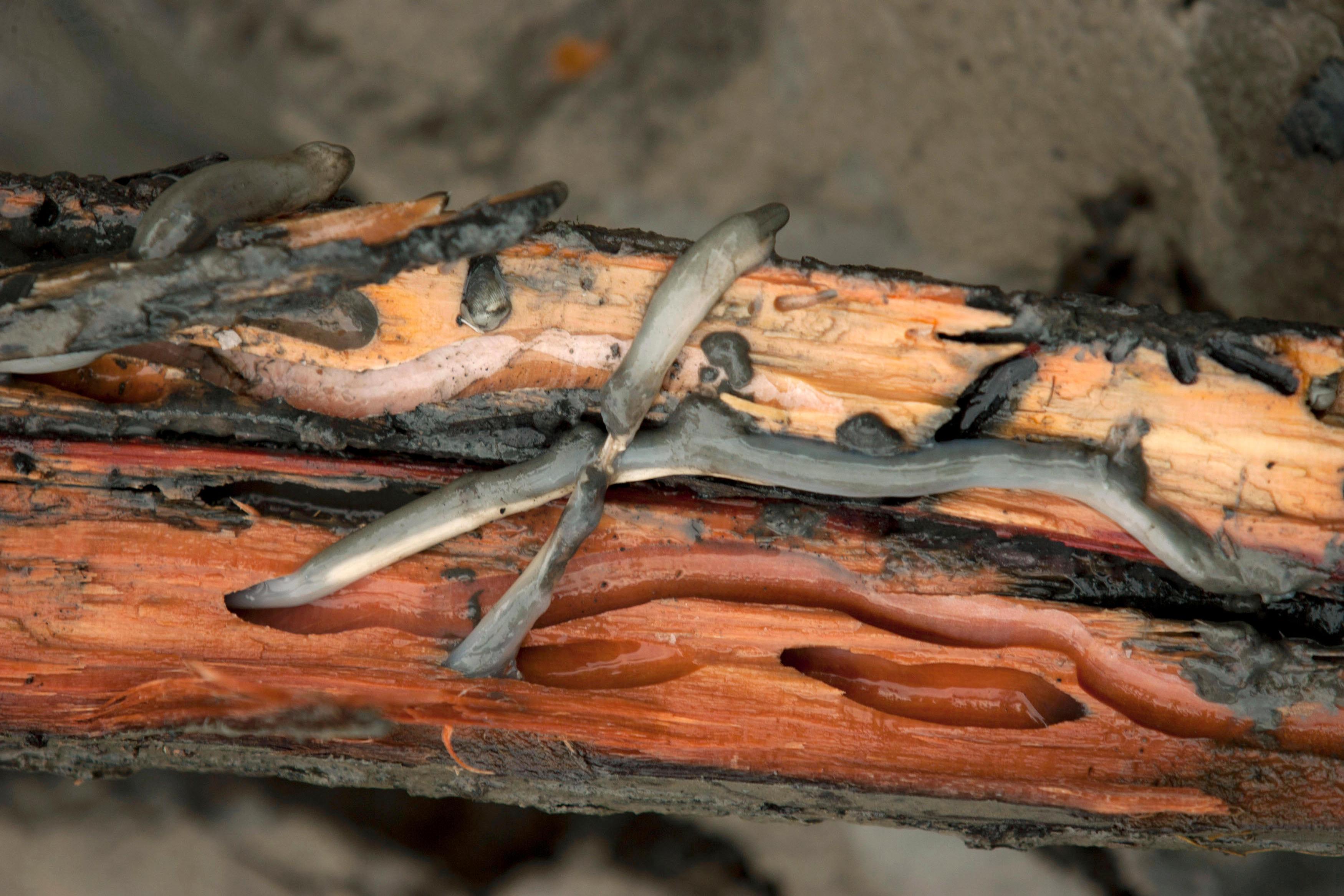 távolítsa el a házi pinwormokat