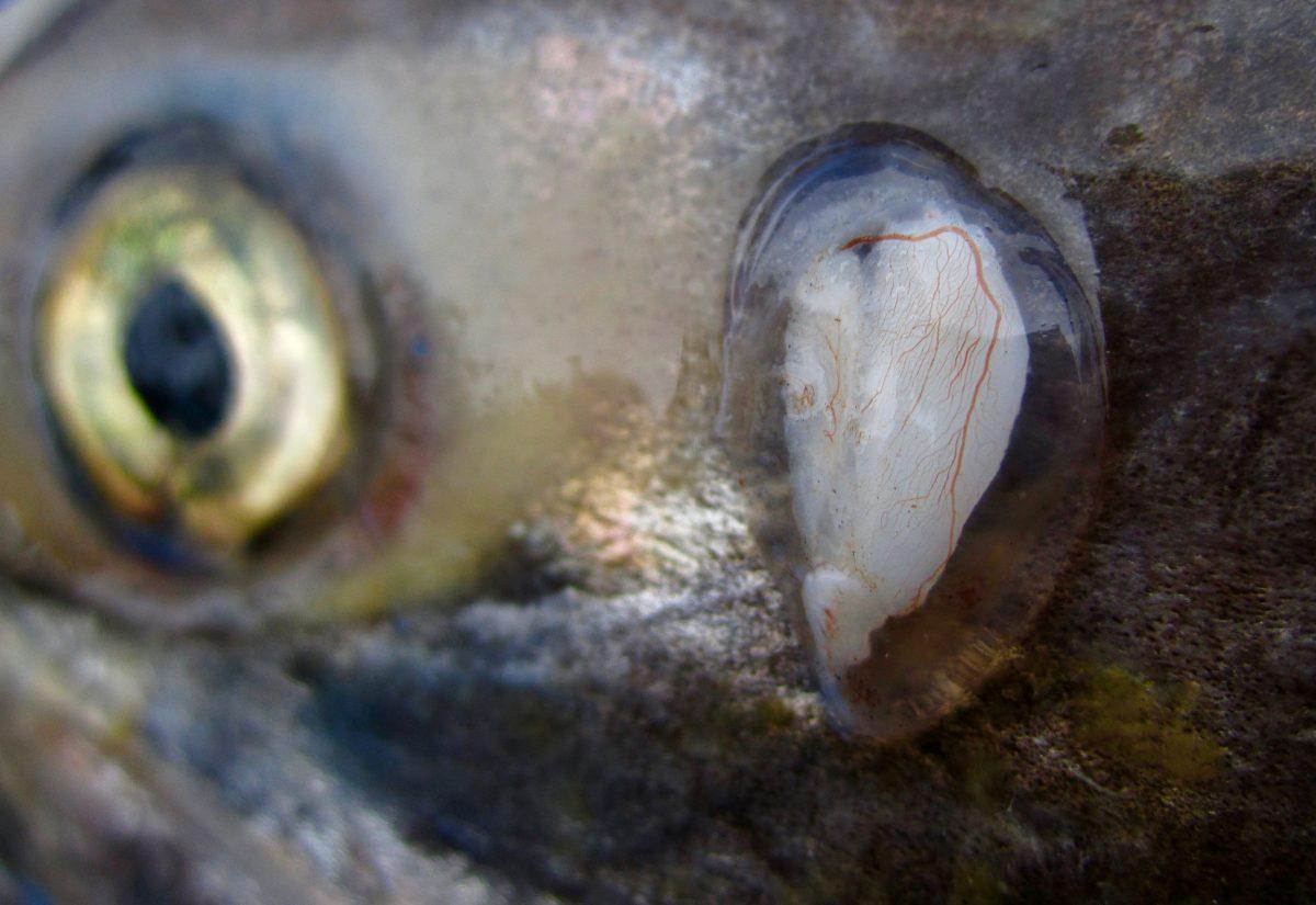 salmon otolith