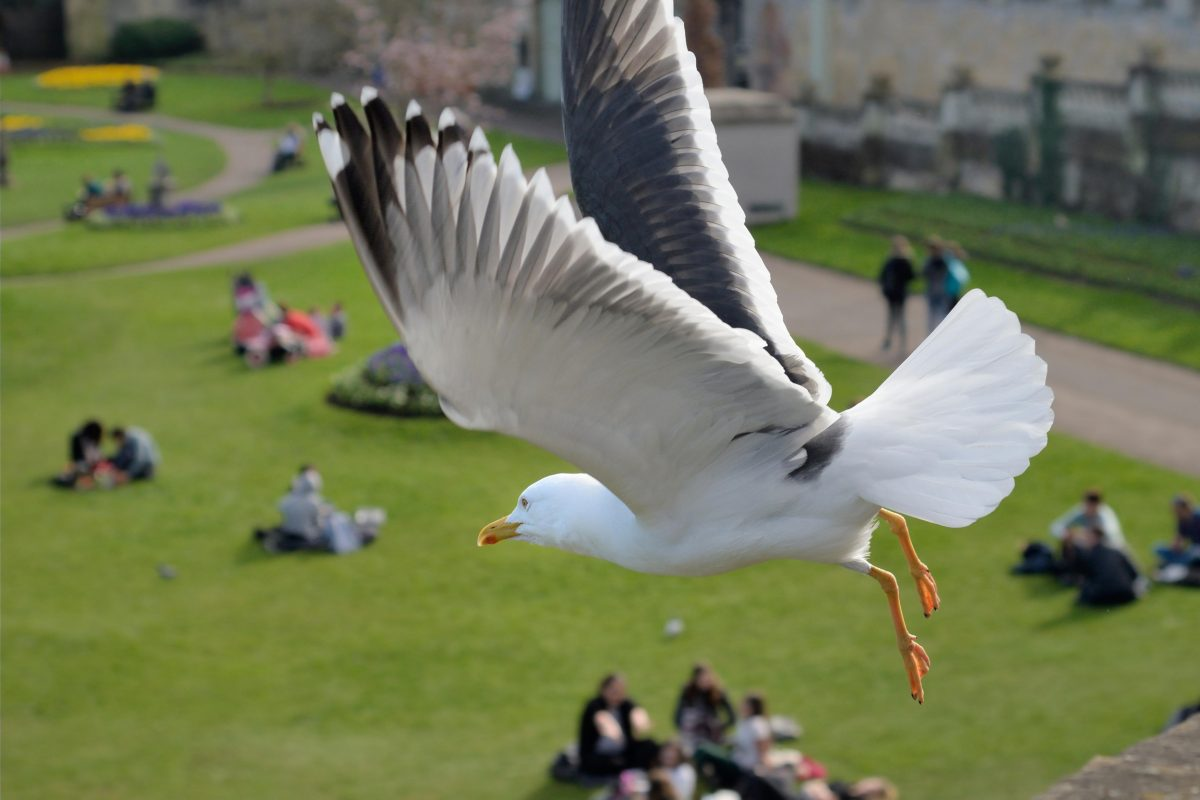gull flying over groups of people on grass