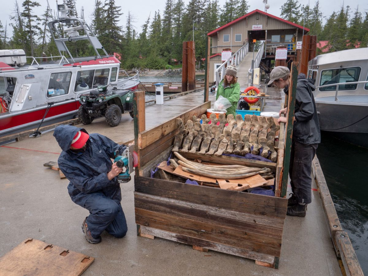 Once the bones were clean, the crew packaged up the bones and barged them south to deRoos's Saltspring Island workshop for the next stage in their long cleaning saga—a full degreasing, a series of steps that took more than half a year.