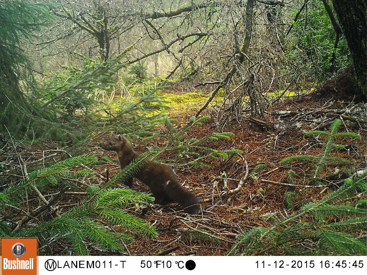 A marten—likely a female—prowls the dune forest