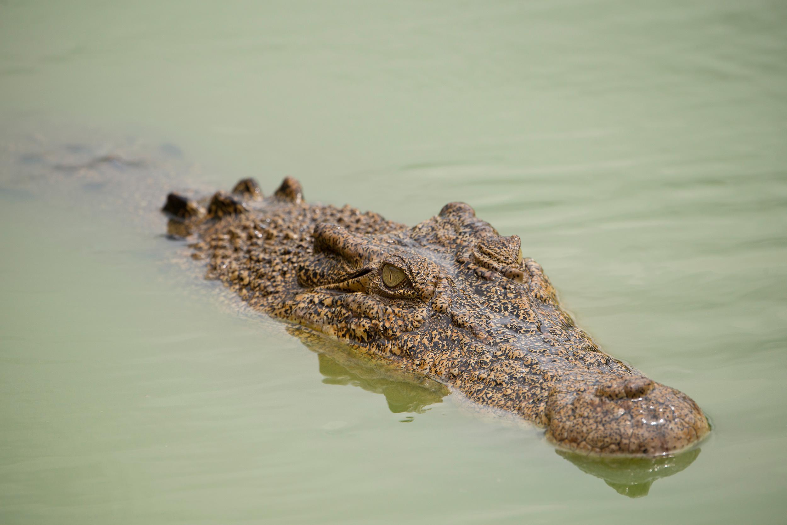 Crocodiles Rising Hakai Magazine