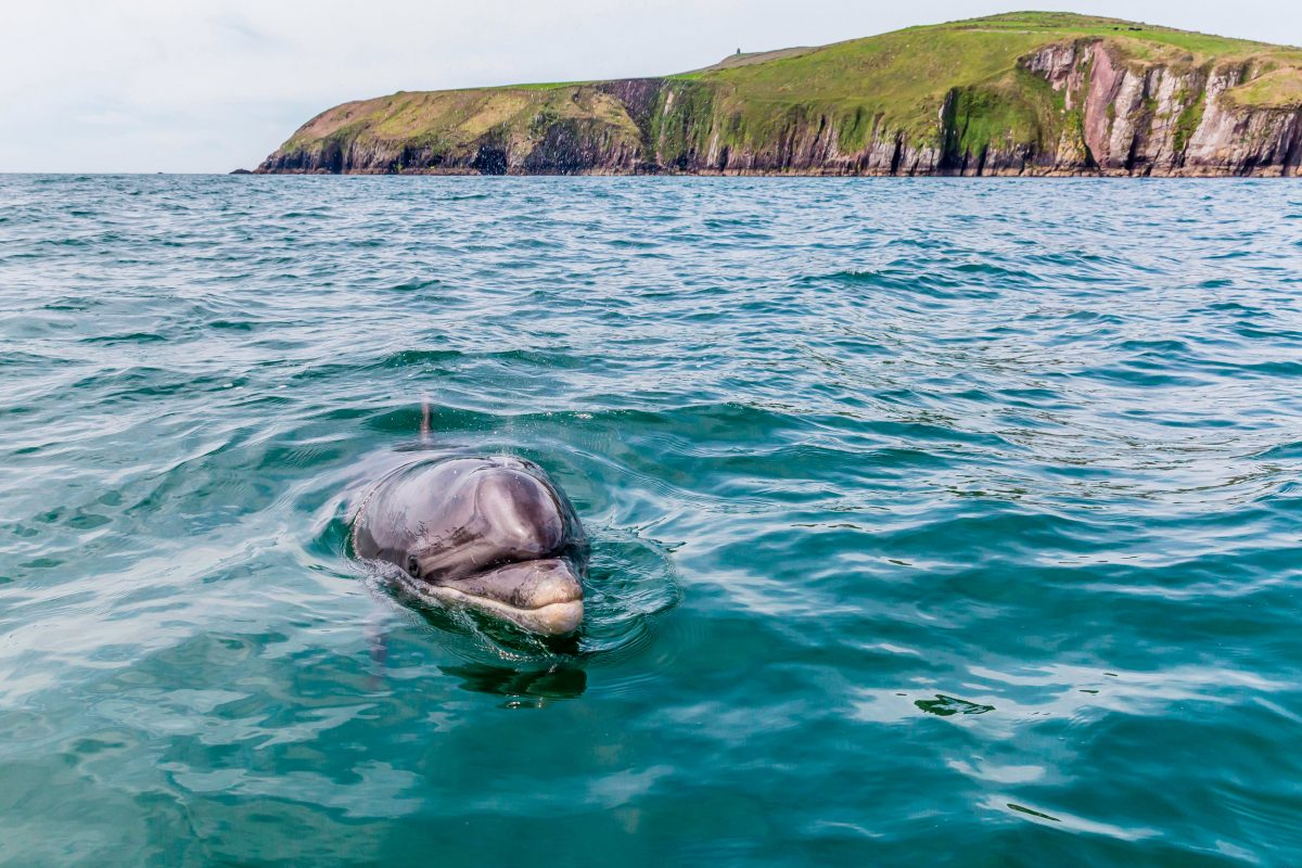 bottlenose dolphin near Dingle, Ireland