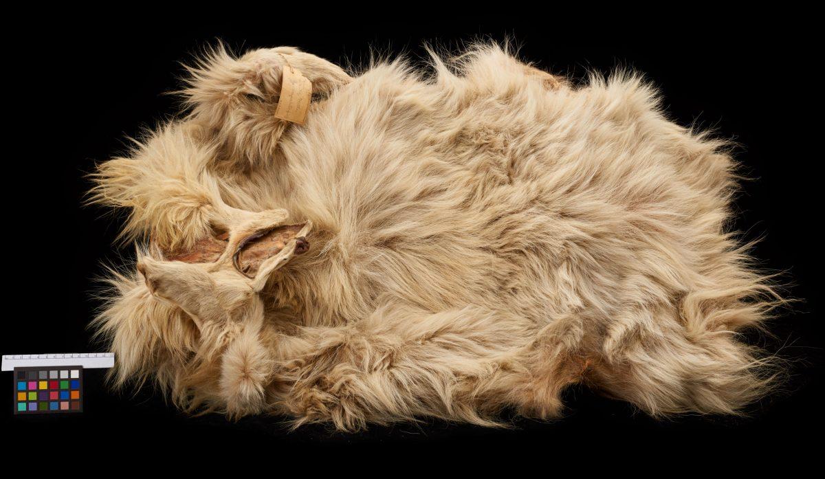 wool dog pelt