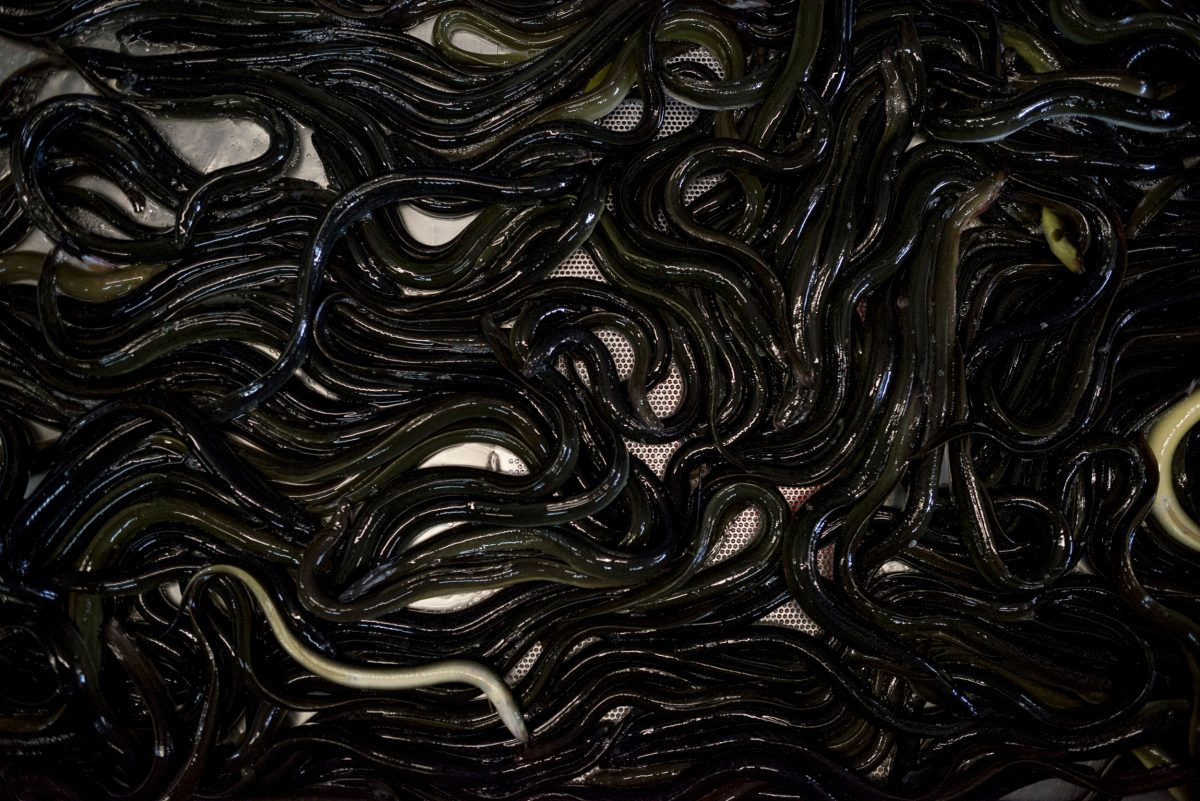 A pile of American eels in a processing plant