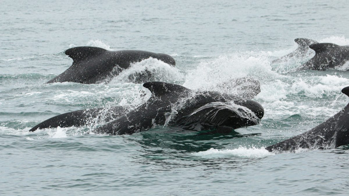 pilot whales off Iceland
