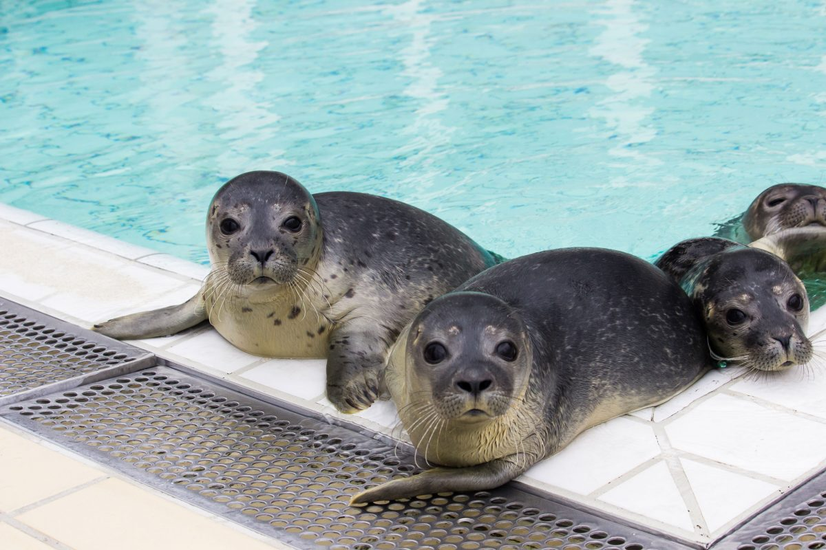 Seals in pool at Sealcentre Pieterburen