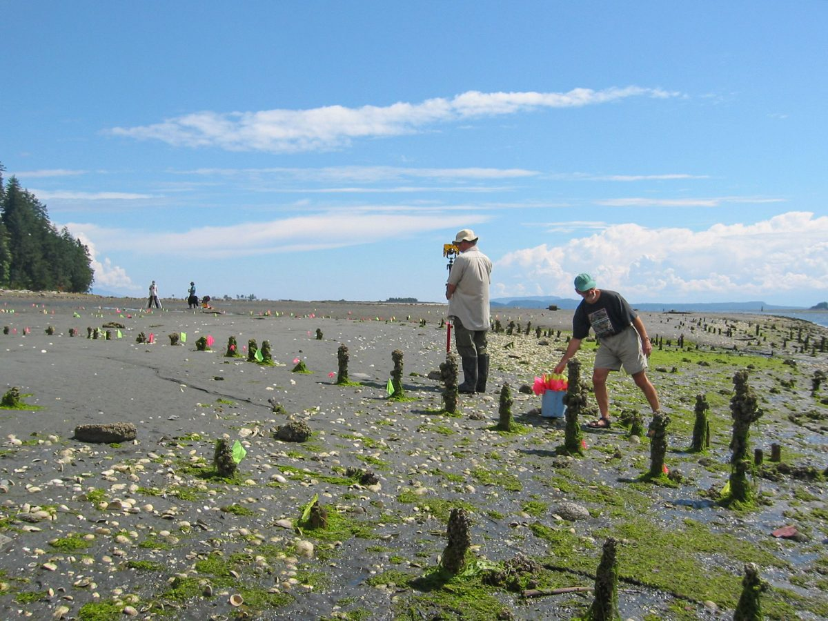 remains of fish trap stakes in Comox Harbour
