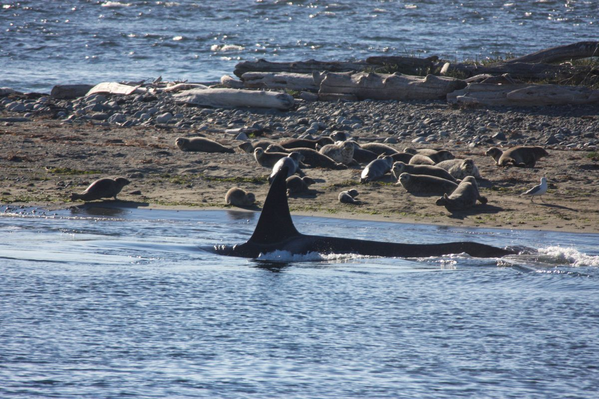 killer whale hunting at Protection Island, BC