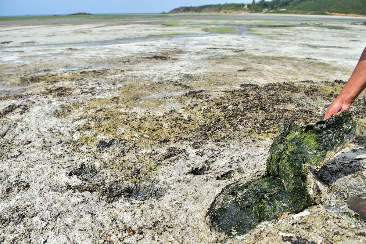 man shows toxic seaweed on French beach