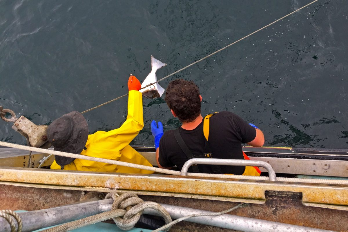 Dave Boyes (left) hauls in halibut with help from first mate and engineer Angus Grout. Photo by Larry Pynn