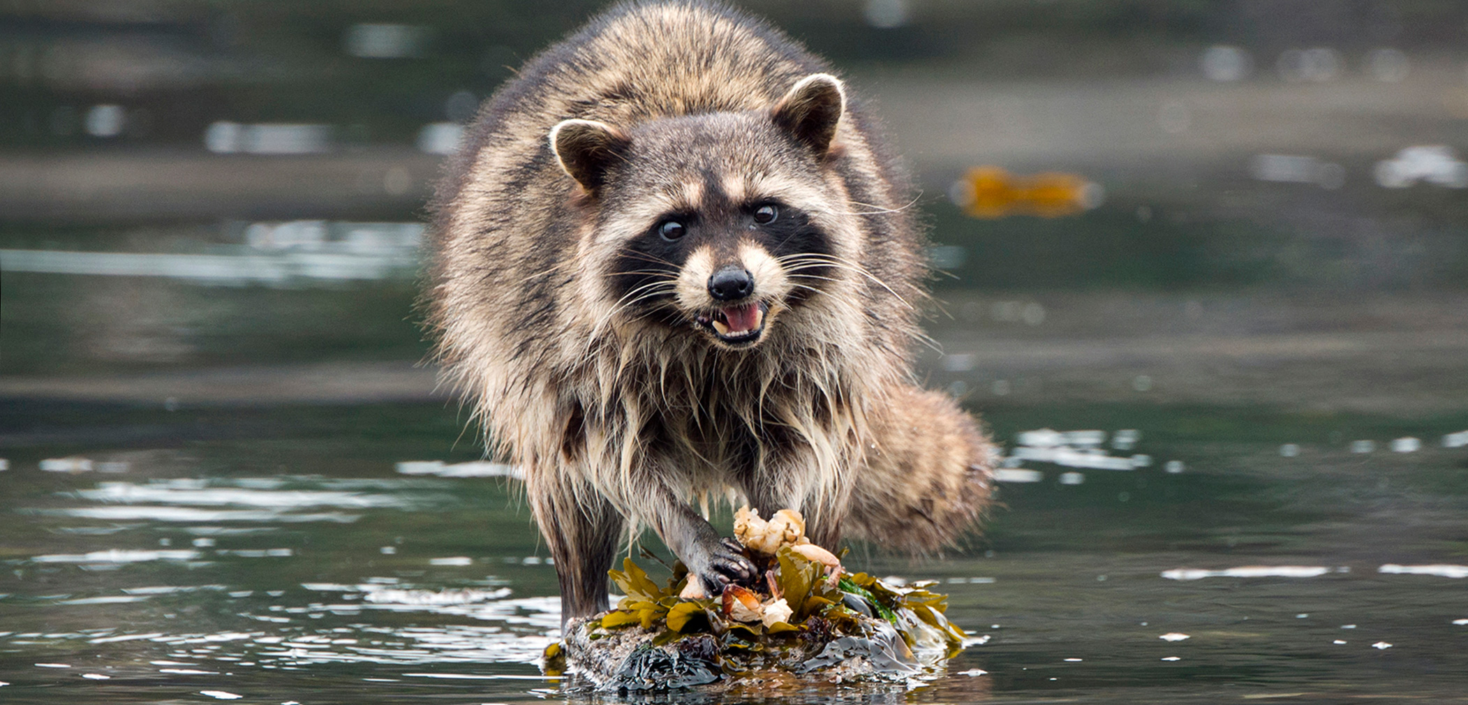 The living is easy, too easy, for raccoons living on islands with no predators. Photo by Shanna Baker