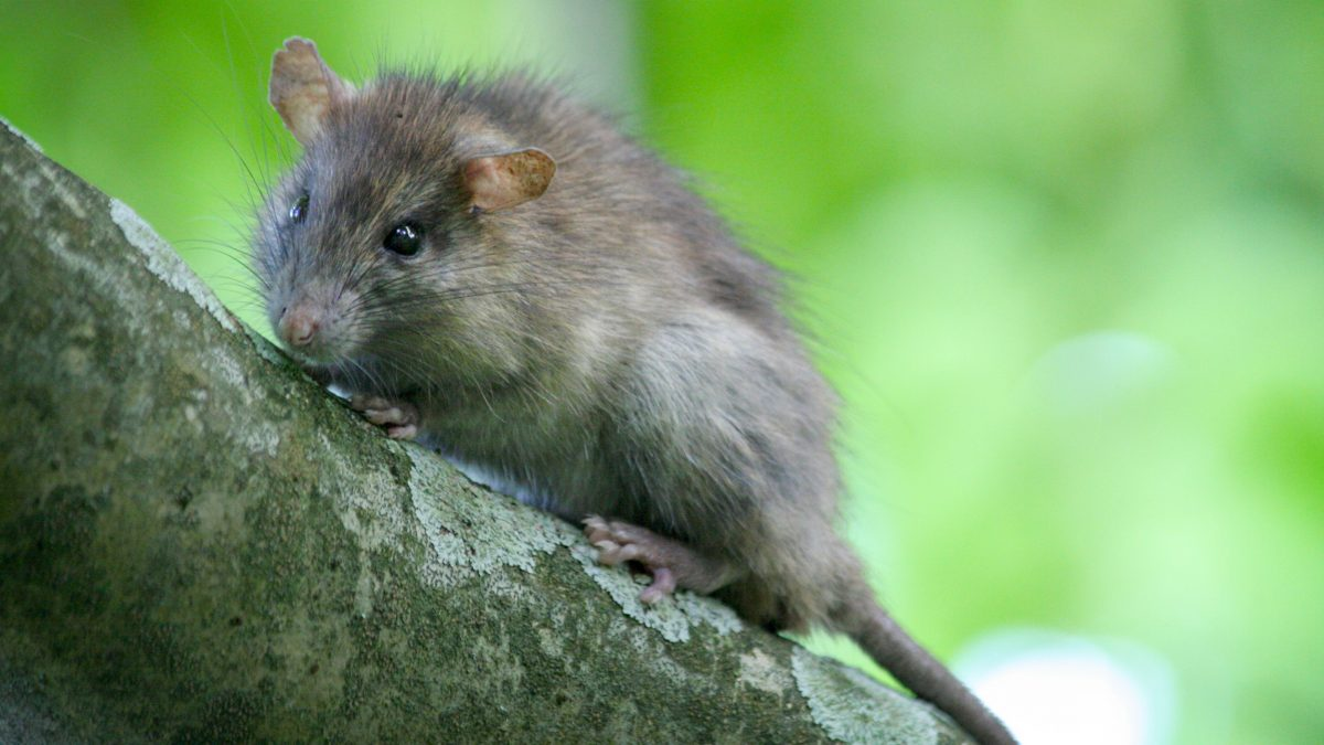 A rat sits in a tree on Palmyra Atoll