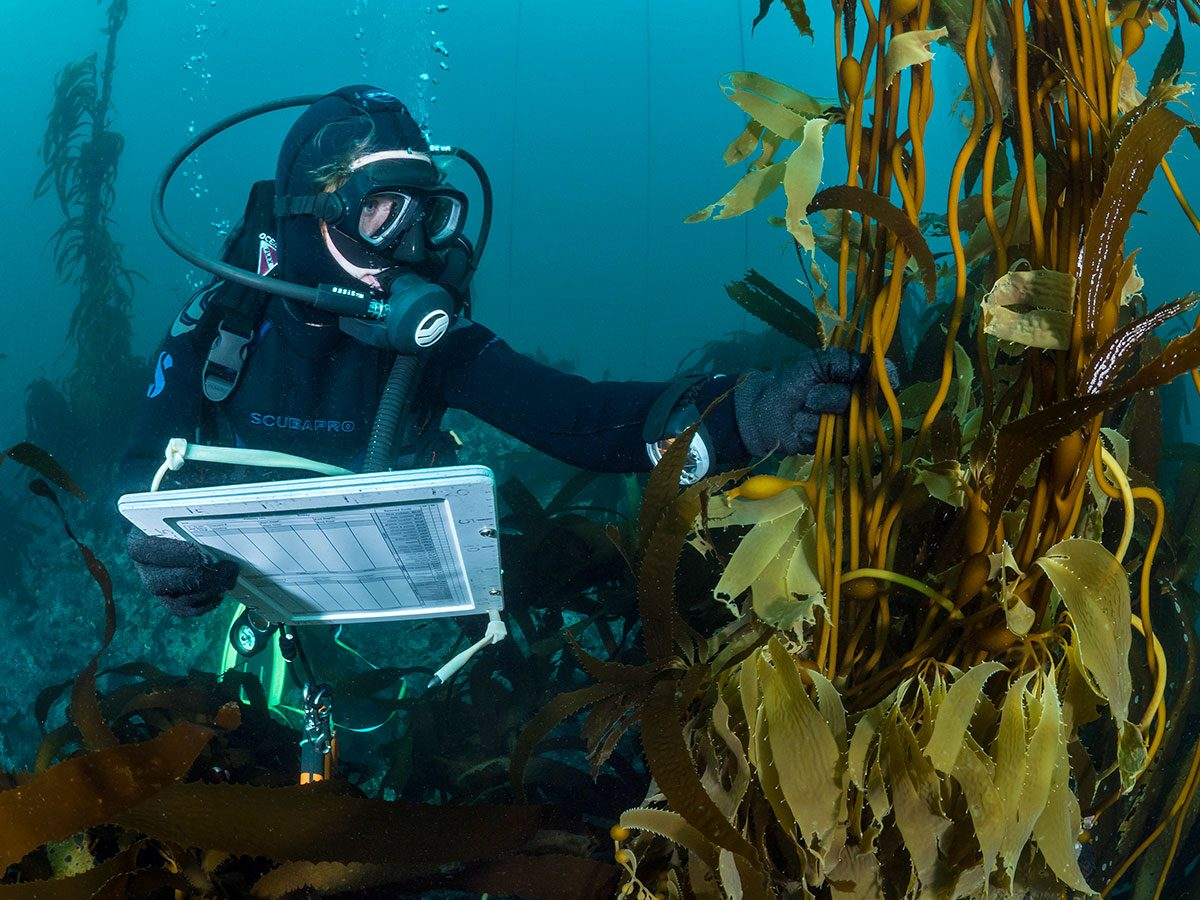 A diver from the citizen science group Reef Check surveys a kelp forest