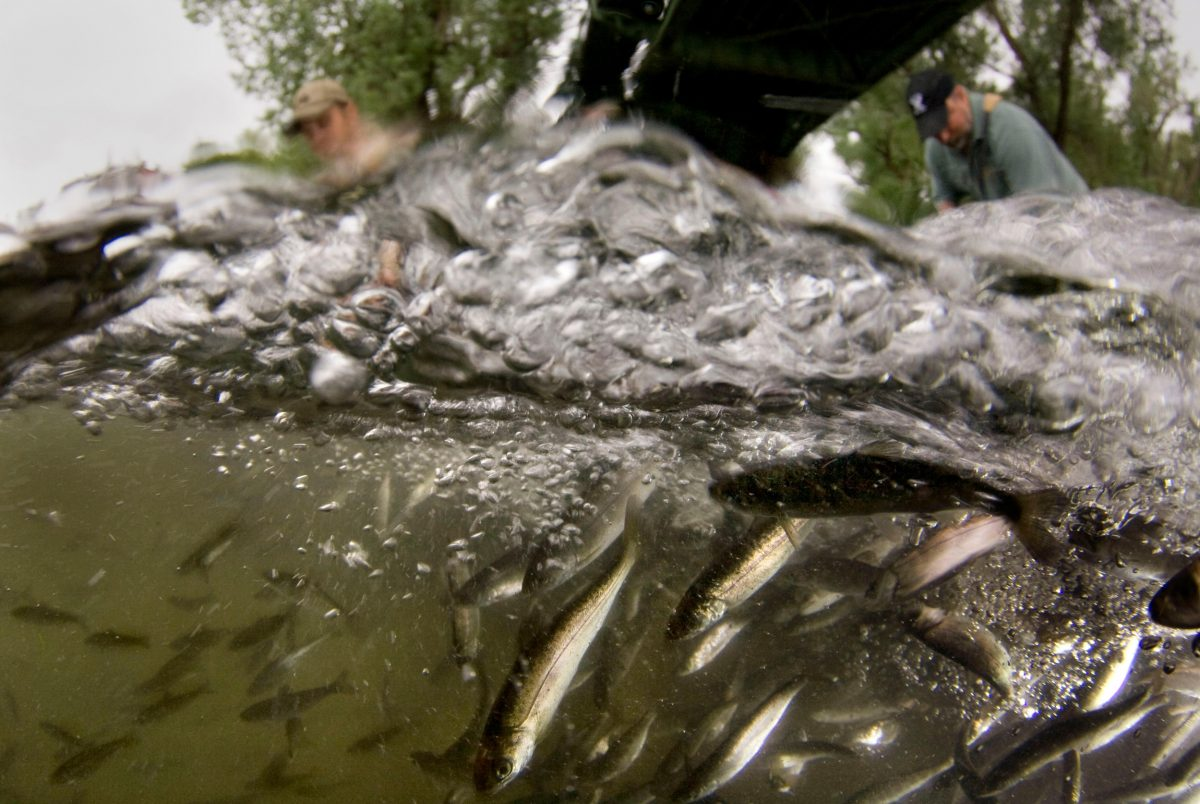 juvenile hatchery salmon being released