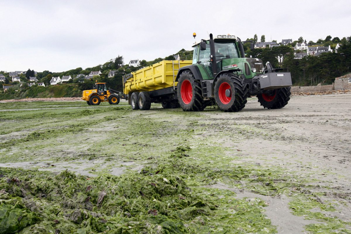 seaweed being removed from French beach