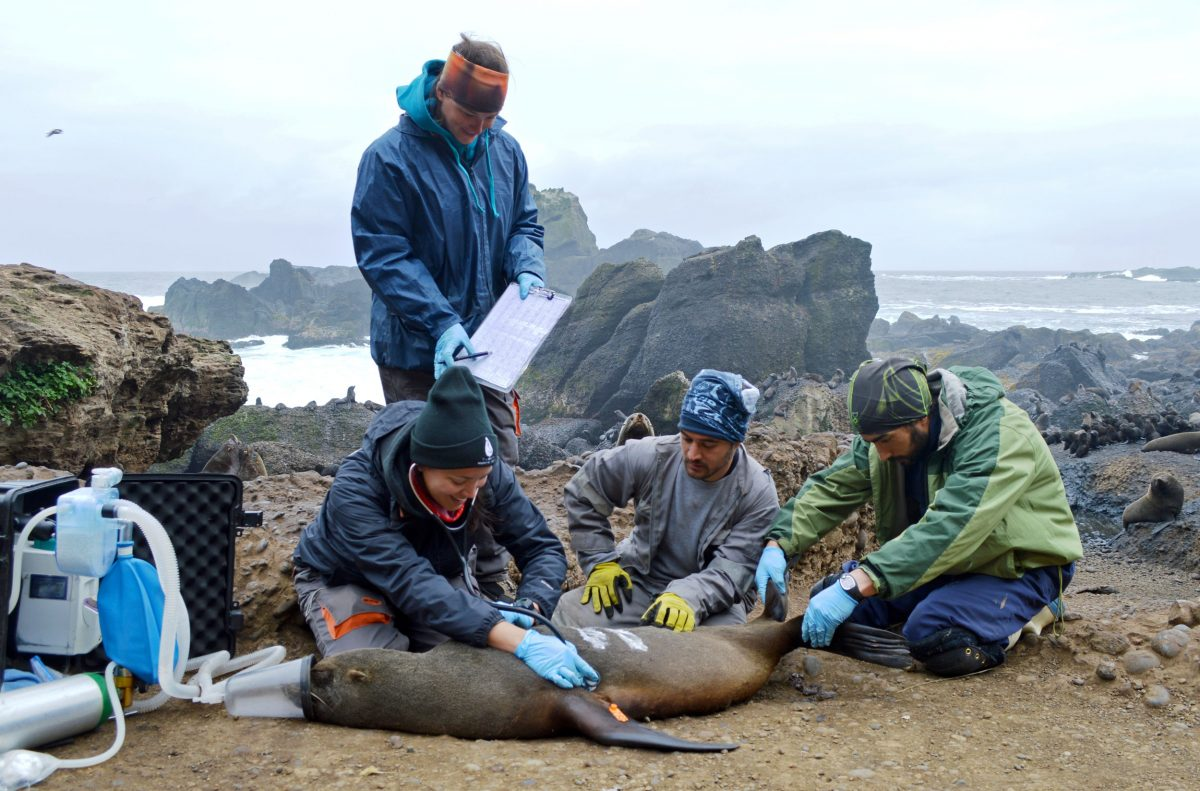 On Guafo Island, Chile, researchers Lorreine Barbosa, Josefina Gutierrez, Eugene DeRango, and Mauricio Seguel assess, the condition of an adult female fur seal and add a tag and markings so she can be tracked